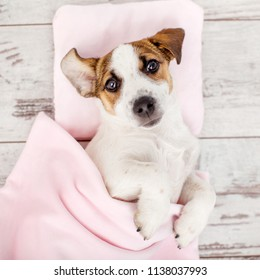 Sleeping puppy on small pillow. Dog jack russell at home