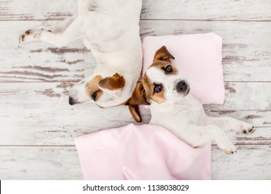 Sleeping puppy on small pillow. Dog jack russell at home. Two dogs