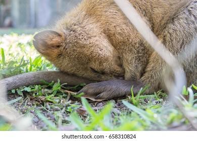Quokka Sleep Images, Stock Photos & Vectors   Shutterstock