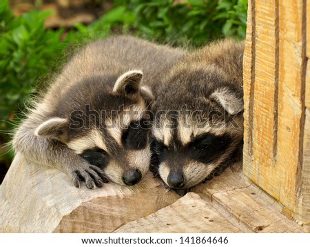 Sleeping Raccoons
