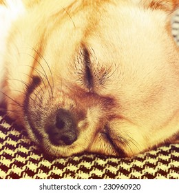 Sleeping Red Chihuahua Dog on Shemagh Pattern Background. With Retro Effect Filter.