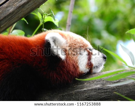 Sleeping Red Panda on a tree branch.