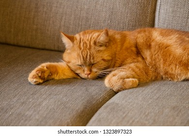 Sleeping redhead british shorthair cat lies on a pillow and sleeps