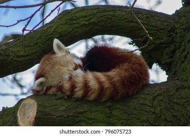 A sleeping redpanda