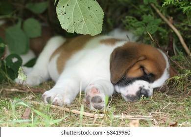 Sleeping Saint Bernard Puppy