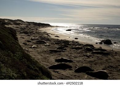 Sleeping Sea Elephants during the setting sun, California, USA