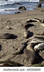 Sleeping Sea Elephants in the sun at the California coast