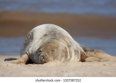 Sleeping seal. Cute tired animal taking a nap on the beach. Beautiful wildlife portrait image. From the wild grey seal colony Horsey Norfolk UK.