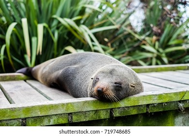 A sleeping seal in Kaikoura, New Zealand