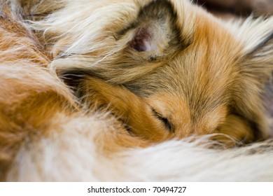 Sleeping sheltie