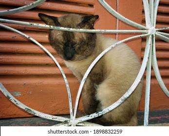 Sleeping Siamese cat behind window bars, Manaus - Amazon, Brazi