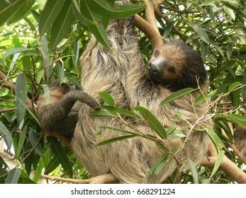 Sleeping sloth hanging in the tree.