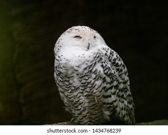 sleeping snow owl on dark background