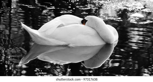 The Sleeping Swans >> Sleep Swan Images Stock Photos Vectors Shutterstock