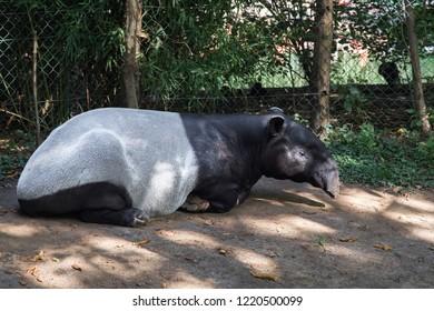 Imágenes, fotos de stock y vectores sobre Tapir | Shutterstock