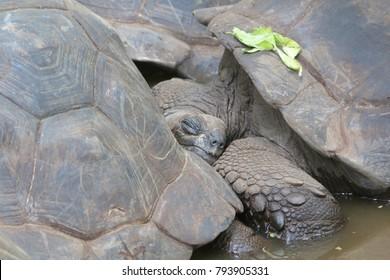 Sleeping turtle in Prison Island, Tanzania