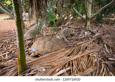 Sleeping turtles in La Vanille natural park, Mauritius.