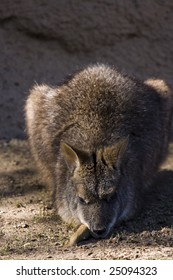 Sleeping Wallaby