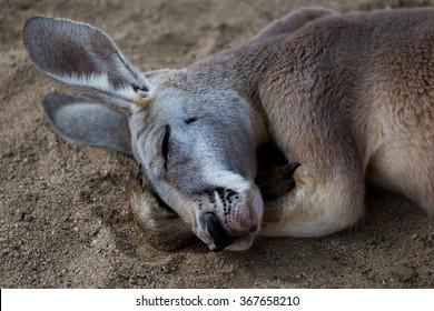 Sleeping Wallaby