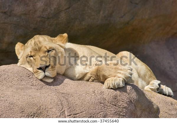 sleeping-watchful-lioness-600w-37455640.