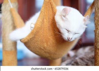 Sleeping White American Curl Cat in a brown cradle. American Curl relaxing's Portrait