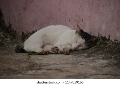 Sleeping White Cat