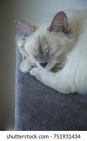 Sleeping white cat Grey blanket. Day light
