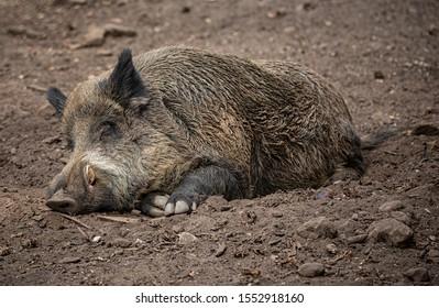 Sleeping wild boar in the park