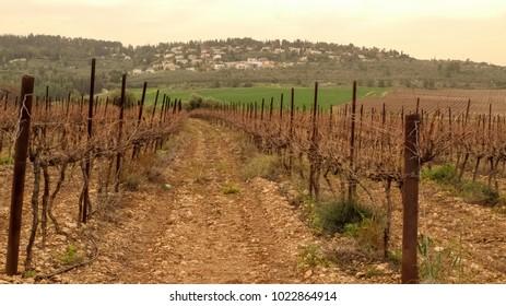 Sleeping winter vineyard, Latrun, Israel