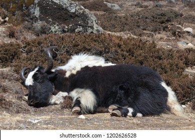 Sleeping Yak in the Nepal Himalayas. The himalayan yak is a long-haired bovid found throughout the Himalaya region of south Central Asia, Tibetan Plateau and Mongolia