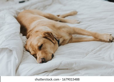 Sleeping Yellow Lab In Bed