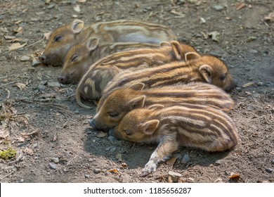 Sleeping young wild boars lie in a row
