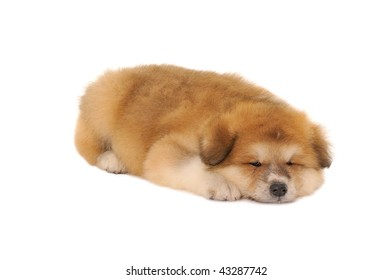 Sleepy  Akita Inu puppy dog on white background