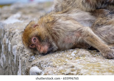 Sleepy Barbary Macaque on a wall looking into the camera.
