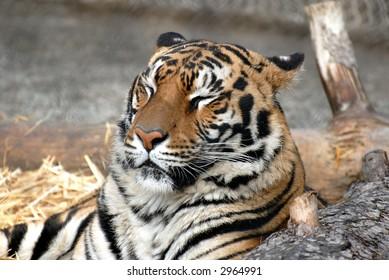 Sleepy bengal tiger