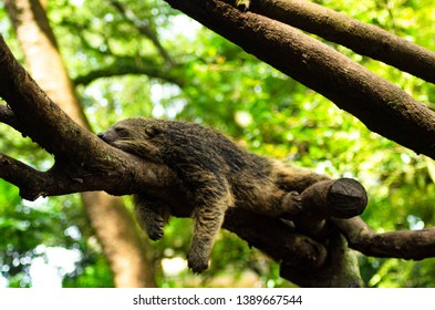 a sleepy binturong a.k.a bearcat above a tree branch at bandung zoo