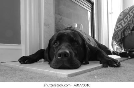 Sleepy black lab