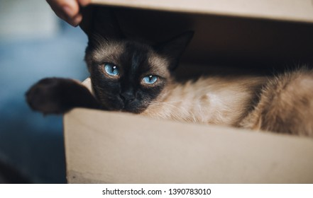 Sleepy and blue-eyed brown Siamese cat close-up lies in a cardboard box. Cat games and habits. Cute and beautiful pet in your home.