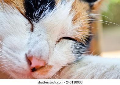 sleepy british kitten over black background - Stock Image