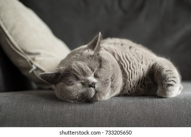 Sleepy British Short Hair cat lying on a couch beside a cushion in a flat in Edinburgh, Scotland, UK, with her paw folded as she dreams away