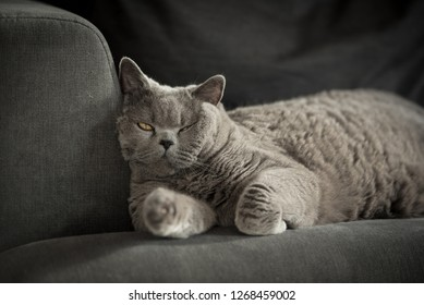 Sleepy British Shorthair Cat with one eye half open lying on a grey couch in a house in Edinburgh City, Scotland, UK, looking at the camera as the sun comes in