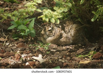 A sleepy bunny rabbit rests peacefully under a bush in the summer.