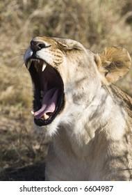 Sleepy Cat, Lion, Masai Mara, Republic of Kenya, Eastern Africa