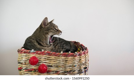 The sleepy cat yawns lying in basket inside the house. The cat yells.