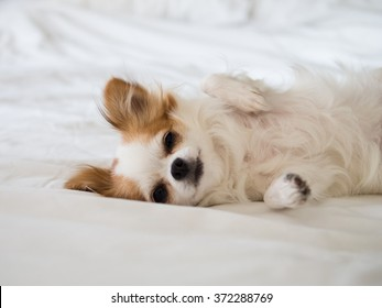 Sleepy Chihuahua puppy laying down on soft white bed looking straight