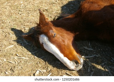 Sleepy Clydesdale foal, baby horse