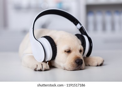 Sleepy cute labrador puppy dog with large headphones taking a nap, shallow depth