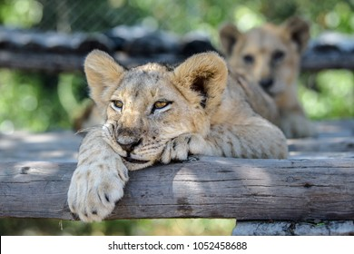 Sleepy cute lion cub lying down on tree with other lion cubs, wildlife of Africa baby animals relaxing