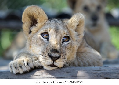 Sleepy cute lion cub lying down on tree with other lion cubs, wildlife of Africa baby animals relaxing in Zimbabwe