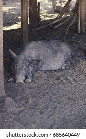 Sleepy or Depressed Pig from a flood affected area